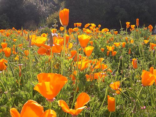 Cali_poppies.jpg